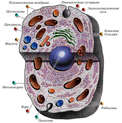 организма человека клетки фото